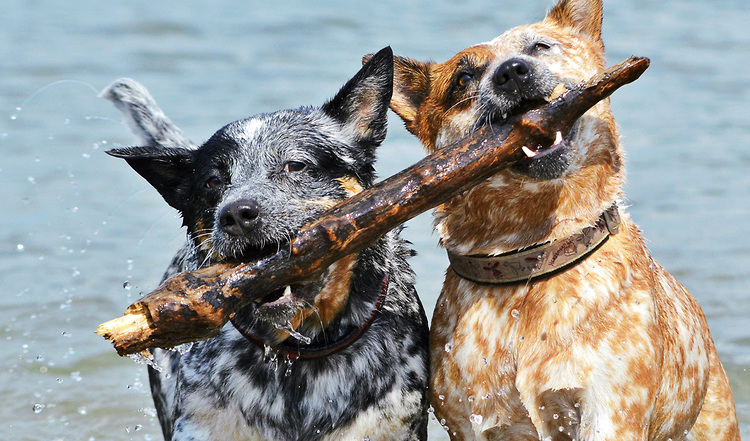 Der Australian Cattle Dog