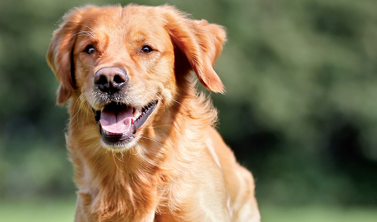 Der Golden Retriever im Portrait