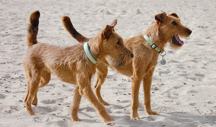 Der Irish Terrier